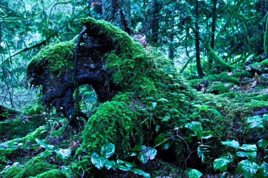 Bearded Dragon, Moss, Forest, BC, Galiano Island